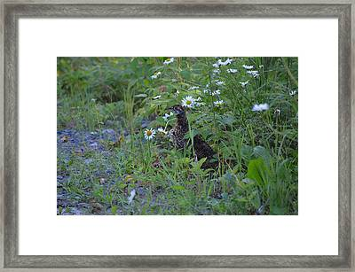 Framed Print featuring the photograph Spruce Grouse by James Petersen