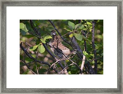 Framed Print featuring the photograph Spruce Grouse2 by James Petersen