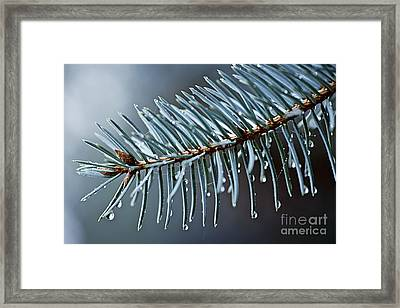 Spruce Needles With Water Drops Framed Print by Elena Elisseeva