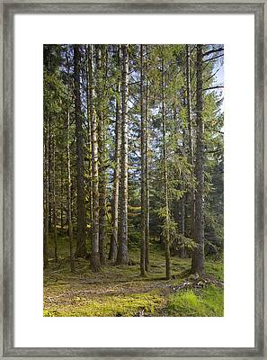 Spruce Tree Forest In Autumn, Kodiak Framed Print by Kevin Smith