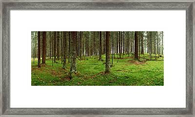 Spruce Trees In A Forest, Joutseno Framed Print