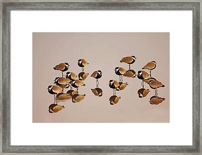 Spur-winged Lapwing (vanellus Spinosus) Framed Print by Photostock-israel