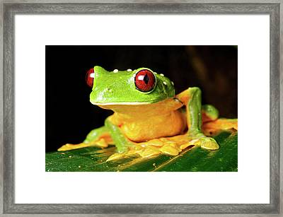 Spurell's Flying Frog (agalychnis Framed Print by Andres Morya Hinojosa