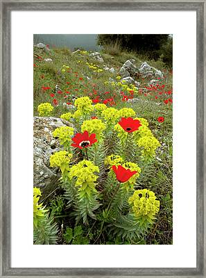 Spurge And Peacock Anemones In Flower Framed Print