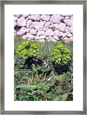 Spurge (euphorbia Helioscopia) Framed Print by Bruno Petriglia/science Photo Library