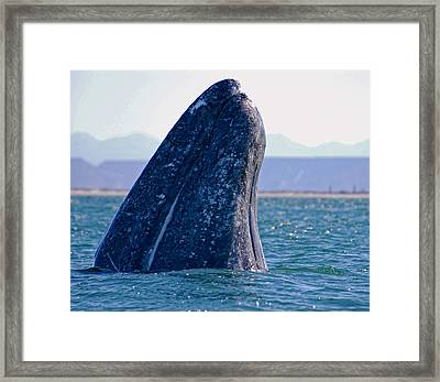 Framed Print featuring the photograph Spyhopping by Don Schwartz