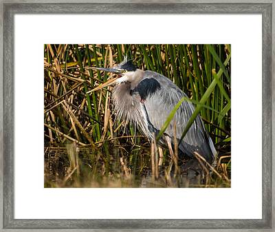 Squaking Blue Heron Framed Print