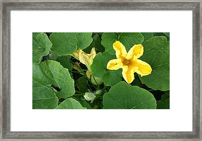 Squash Yellow Blossom Framed Print