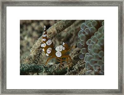 Squat Anemone Shrimp, Side View Framed Print by Steve Jones