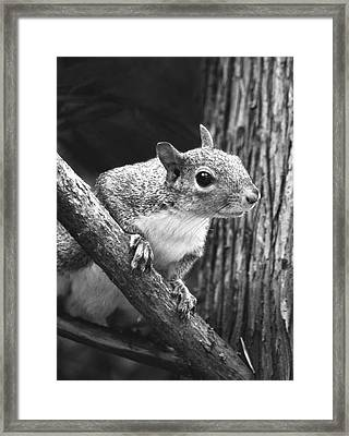 Squirrel Black And White Framed Print by Sandi OReilly