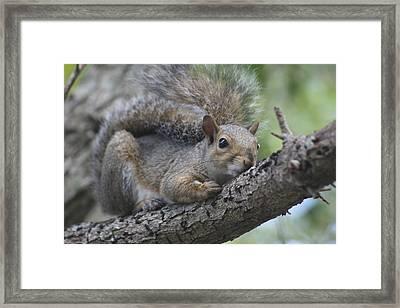 Squirrel Framed Print by Carlynne Hershberger