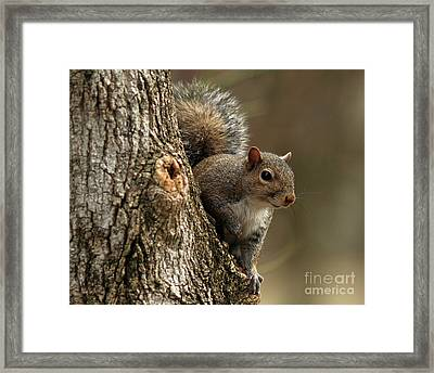 Squirrel Framed Print by Douglas Stucky