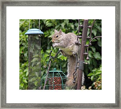 Squirrel Eating Nuts Framed Print