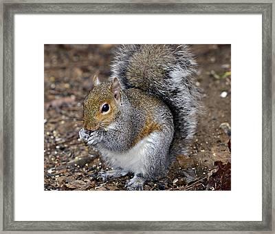 Squirrel Eating Sunflower Seed Framed Print by Susan Leggett