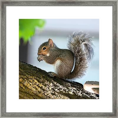 Squirrel Friend Framed Print by Carol Groenen