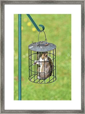 Squirrel In Bird Feeder Framed Print by Dr P. Marazzi