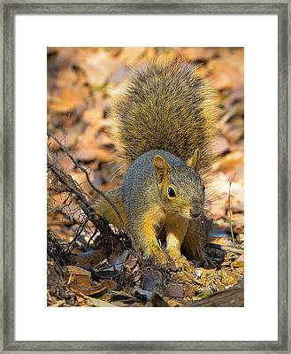 Squirrel Framed Print by John Johnson