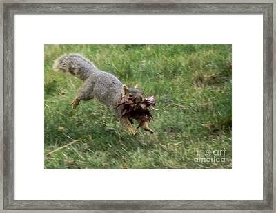 Squirrel Nest Bulding Framed Print by Robert Bales