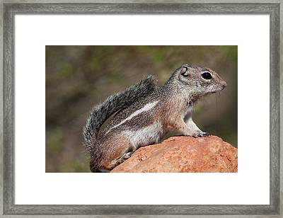 Squirrel Perched On A Rock Framed Print