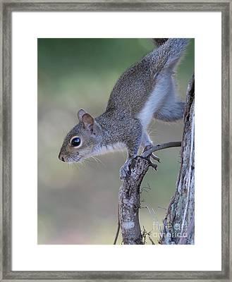 Squirrel Pose Framed Print by Deborah Benoit