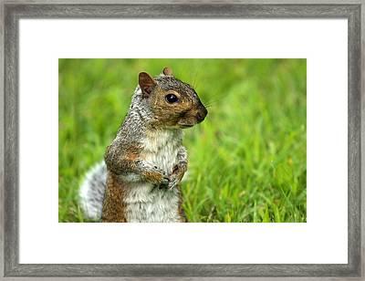 Squirrel Pose Framed Print by Karol Livote