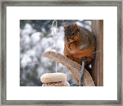 Squirrel Snack IIi Framed Print by Jim Finch