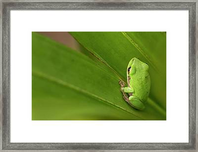 Squirrel Tree Frog, Everglades National Framed Print by Rob Sheppard