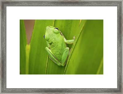 Squirrel Tree Frog In Palmetto Framed Print by Rob Sheppard