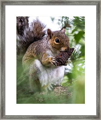 Squirrel With Pine Cone Framed Print