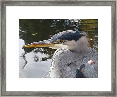 Sr Heron  Framed Print