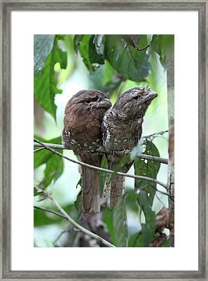 Sri Lankan Frogmouths Framed Print