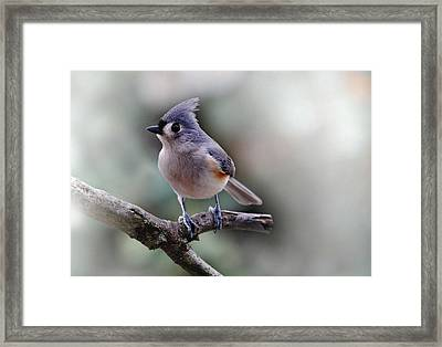 Sring Time Titmouse Framed Print