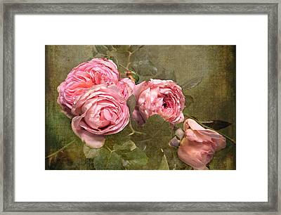 Abraham Darby Rose Framed Print by Shirley Sirois