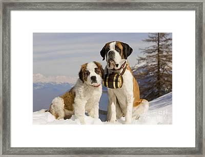 St Bernard And Puppy Framed Print by Jean-Michel Labat