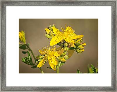 St Johns Wort Framed Print