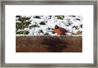 St. Louis Cardinal Framed Print by Don Koester