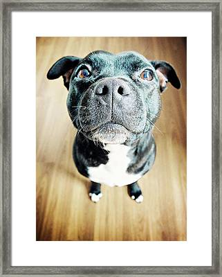Staffordshire Bull Terrier Framed Print by Michelle Mcmahon