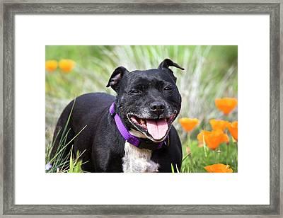 Staffordshire Bull Terrier Standing Framed Print by Zandria Muench Beraldo