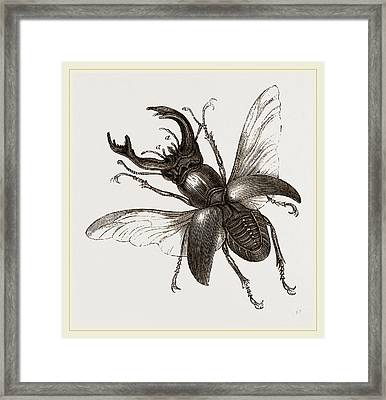 Stag Beetle, Beetle In The Family Lucanidae Framed Print