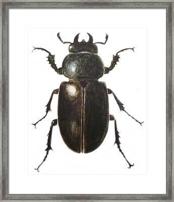 Stag Beetle Framed Print by Ele Grafton