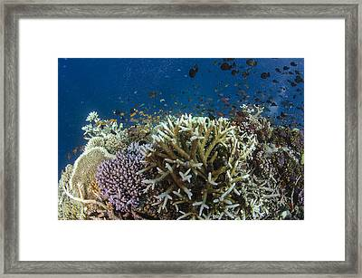Staghorn Coral And Fish Koro Island Fiji Framed Print by Pete Oxford