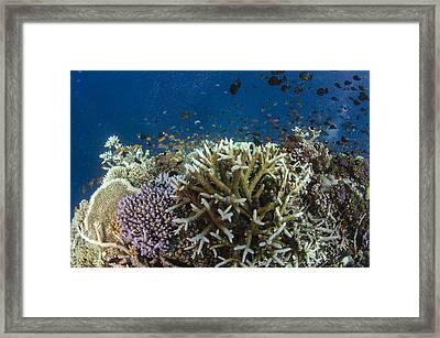 Staghorn Coral And Fish Koro Island Fiji Framed Print