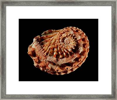 Staircase Abalone Sea Snail Shell Framed Print