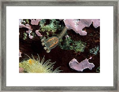 Stalked Jellyfish Haliclystus Salpinx Framed Print by Andrew J. Martinez