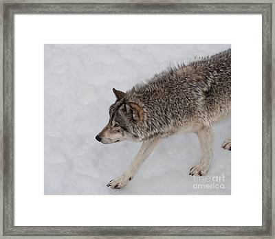 Framed Print featuring the photograph Stalker by Bianca Nadeau
