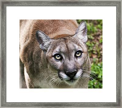 Stalking Cougar Framed Print by Donna Proctor