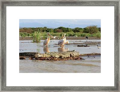 Stalking Crocodile Framed Print