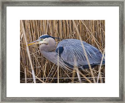 Stalking Fish In The Reeds Framed Print