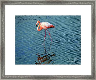 Stalking Flamingo In The Galapagos Framed Print by Al Bourassa