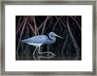 Stalking In The Mangroves Framed Print